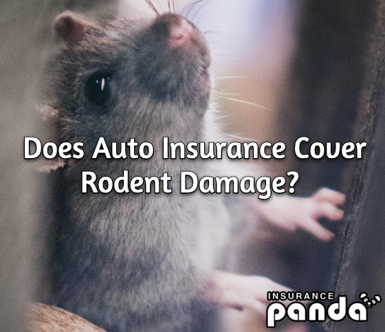 Does Auto Insurance Cover Rodent Damage